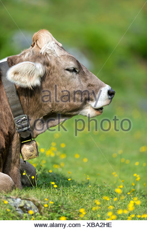 Tyrolean Brown Cattle, calf ruminating, Grawa Alm, mountain pasture, Stubai Valley, Tyrol, Austria, Europe - Stock Photo