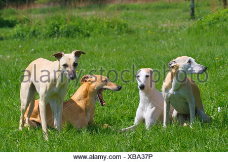 Whippet (Canis lupus f. familiaris), four Whippets in a meadow, Germany - Stock Photo