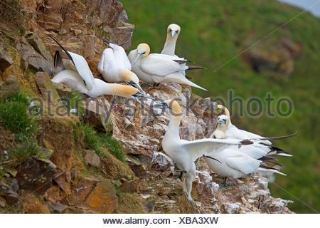 Basstoelpel, Bass-Toelpel (Sula bassana, Morus bassanus), Revierstreitigkeiten am Vogelfelsen, Grossbritannien, Schottland | nor - Stock Photo