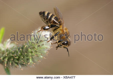 Western honey bee or European honey bee (Apis mellifera) on a goat willow flower (Salix caprea), Thuringia, Germany - Stock Photo