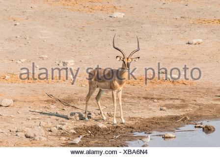 Black Faced Impala (Aepyceros melampus petersi), Chudop water hole, Etosha National Park, Namibia - Stock Photo