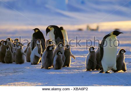 Emperor penguin (Aptenodytes forsteri), with chicks, Antarctica - Stock Photo