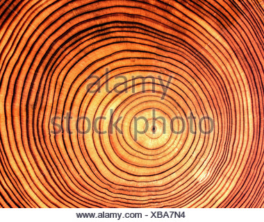 'wood, cross section of bole, larch, (Larix), species, 'Larix europaea', annual rings, profile, log, tree trunk, ring, age, fo - Stock Photo
