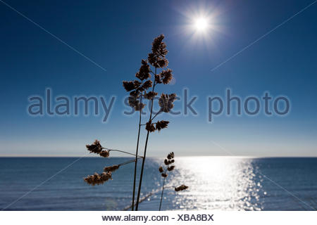 grasses on the beach of the baltic sea in the backlight of the sun setting - Stock Photo