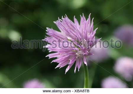 Chives (Allium schoenoprasum), purple flower - Stock Photo