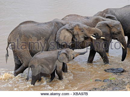 African elephant (Loxodonta africana), elephants crossing Mara river, Kenya, Masai Mara National Park - Stock Photo