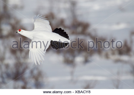 Male Willow Ptarmigan in winter plumage in flight over snow covered willows with red crest visible, Chugach Mountains, Alaska - Stock Photo
