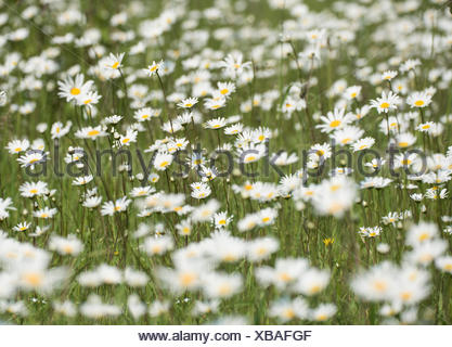 Oxeye Daisy Leucanthemum vulgare UK - Stock Photo