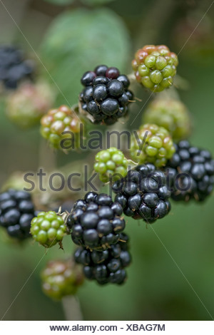 blackberry, rubus fruticosus - Stock Photo