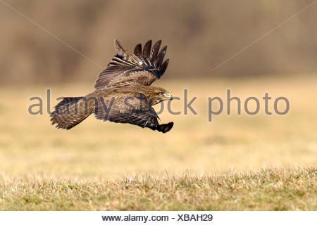 Common Buzzard (Buteo buteo) in flight, Mazovia, Poland - Stock Photo