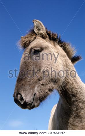 konik, foal tarpan, equus ferus gmelini - Stock Photo