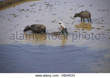China, Yunnan, man working in rice field with buffaloes - Stock Photo