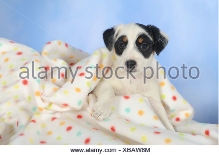 Parson Russell Terrier lying under a blanket - Stock Photo