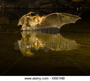 Pallid Bat swooping over a small pond, Southern Arizona, USA - Stock Photo