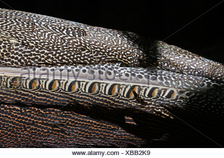Plumage detail of Great Argus, Argusianus argus Asian Pheasant male Captive - Stock Photo