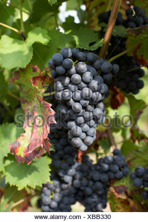 Bunch of ripe blue grapes - Stock Photo