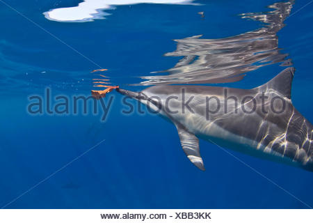 Spinner Dolphin with a leaf, Hawaii, America, USA - Stock Photo