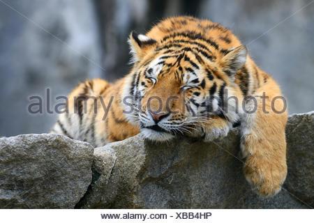 Young Siberian tiger (Panthera tigris altaica), sleeping on rock, captive - Stock Photo