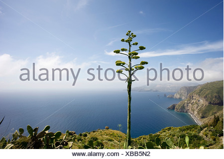 Blooming Agave (Agavoideae) in front of the bay of the Valle Muria, Lipari island, on the horizon Vulcano island, Sicily, Italy - Stock Photo