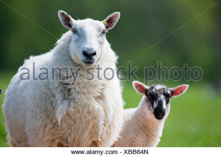 Portrait sheep and lamb - Stock Photo