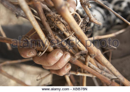 Man, hands, detail, branches, hold, Sancerre, France, winegrower, viticulturist, work, occupation, agriculture, wine-growing, Rebschnitt, person, outside, truncate, cut to size, isolated, hold together, stick, dirty hands, - Stock Photo