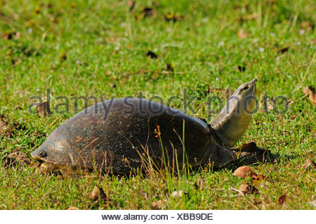 Indo-Gangetic flapshell, Indian flapshell turtle (Lissemys punctata), in a meadow, Sri Lanka, Wilpattu National Park - Stock Photo