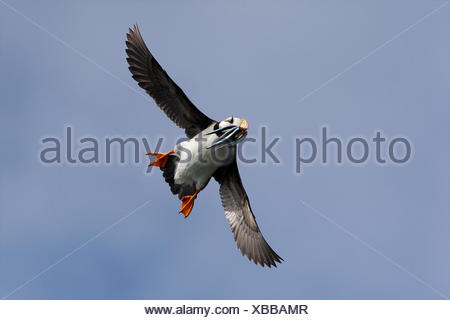 A horned puffin flies with fish in its mouth. - Stock Photo