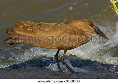 hammercop (Scopus umbretta), sitting on the waterfront, South Africa, Limpopo, Krueger National Park - Stock Photo