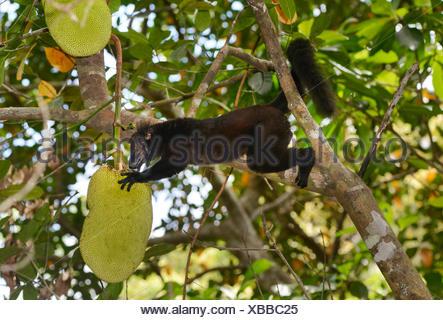 black lemur (Eulemur macaco, Lemur macaco), male on a breadfruit tree, Madagascar, Nosy Be, Lokobe Reserva - Stock Photo