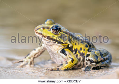 photo of a edible frog on the shore - Stock Photo