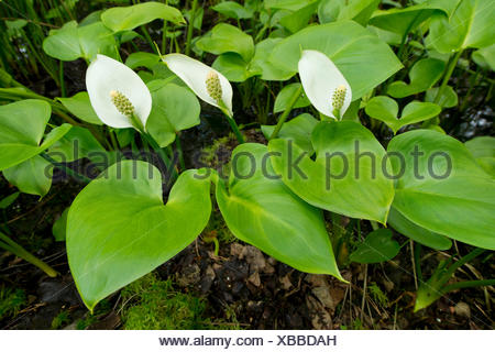 Bog Arum (Calla palustris), Lower Saxony, Germany - Stock Photo