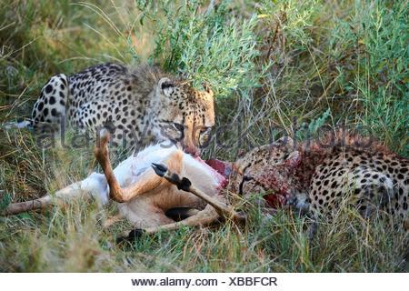 Two Cheetah male (Acinonyx jubatus) feeding on impala prey (Aepyceros melampus). Moremi National Park, Okavango delta, Botswana, Southern Africa. - Stock Photo