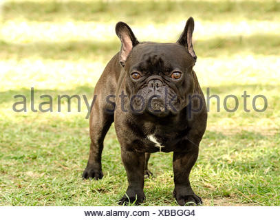 A small,young,beautiful,black French Bulldog standing on the lawn. Frenchies have distinct bat ears, a short face and they are good companion dogs. - Stock Photo