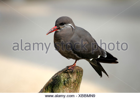 Inca Tern (Larosterna inca), South America - Stock Photo