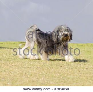 A profile view of a black, gray and white petit chien lion (little lion dog) walking on the grass. Lowchen has a long wavy coat groomed to resemble a lion, i.e. the haunches, back legs and part of the tail are shaved. - Stock Photo