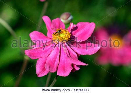 Flowering japanese anemone cultivar Prinz Heinrich (Anemone-Japonica-Hybride Prinz Heinrich) - Stock Photo