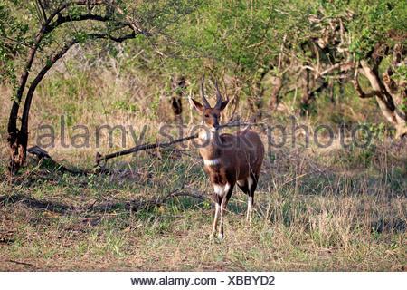 Bushbuck, Imbabala, adult male, Kruger Nationalpark, South Africa, Africa / (Tragelaphus scriptus sylvaticus) - Stock Photo