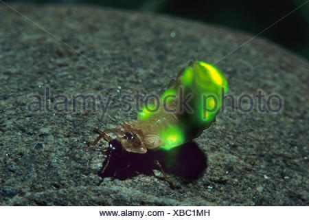 small lightning beetle (Lamprohiza splendidula, Phausis splendidula), female with light-emitting organ, shining, Germany - Stock Photo