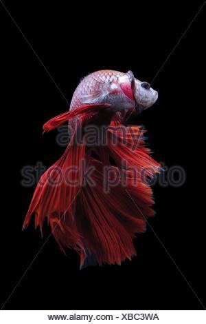 Betta fish, Indonesia - Stock Photo