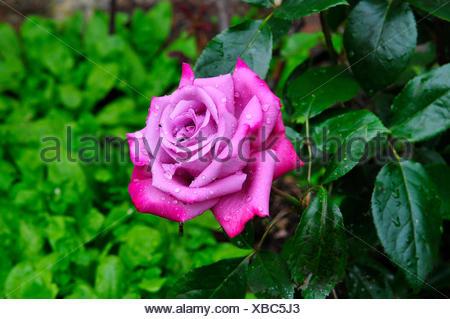 flower rose plant - Stock Photo