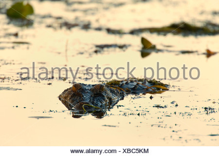 saltwater crocodile, estuarine crocodile (Crocodylus porosus), big Saltwater Crocodile lying in wait for prey in a billabong in a swamp. Only the eyes and part of its snout are visivle while the rest is under water, Australia, Northern Territory - Stock Photo