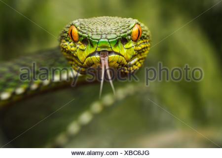 Portrait of a pit viper (Trimeresurus), Riau Islands, Indonesia - Stock Photo