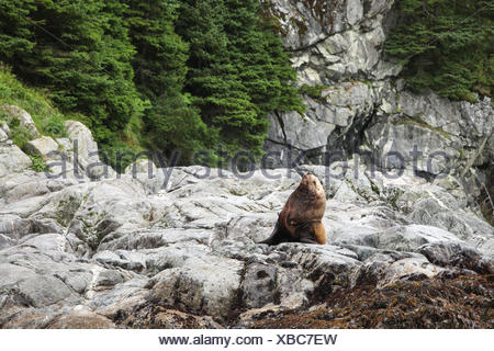 A sea lion sits and stretches on a rocky shoreline. - Stock Photo
