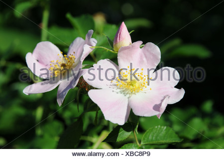 Rosa canina - Stock Photo