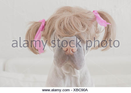 Dog wearing wig with pigtails - Stock Photo