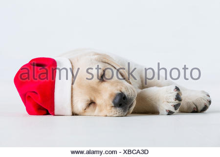 A Labrador puppy lays down on a white background wearing a santa hat; Anchorage, Alaska, United States of America - Stock Photo