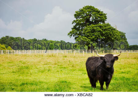 Black Highland cattle in grassland, a farming landscape. - Stock Photo