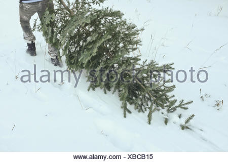 Tree dragged through snow by man - Stock Photo