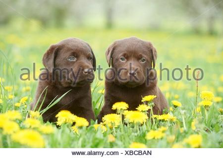 Labrador puppies, Upper Palatinate, Bavaria, Germany, Europe - Stock Photo