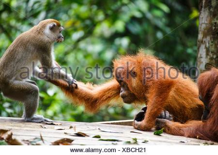 A child Sumatran orangutan (Pongo abelii) fights with a macaque in Gunung Leuser National Park in Northern Sumatra. - Stock Photo